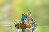 Kingfisher (Alcedo atthis) male flying in the water to catch a fish, Lorraine, France