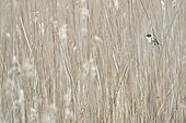 Sedge Warbler (Acrocephalus schoenobaenus) perched in a reed bed. Bay of the Somme. France