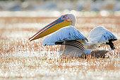 White Pelican (Pelecanus onocrotalus) ruffling feathers, Danube Delta, Romania