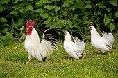 Nagasaki bantam cockerel and hens, walking on grass