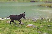 Donkey by the Lake Kol Ukok, Kotchkor, Naryn Province, Kyrgyzstan