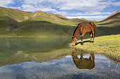 Horse drinking in Lake Kol Ukok, Kotchkor, Naryn Province, Kyrgyzstan