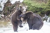 Carpathian brown bear (Ursus arctos arctos) playing in snow, BayerischerWald, Germany