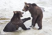 Carpathian brown bear (Ursus arctos arctos) playing in water, BayerischerWald, Germany