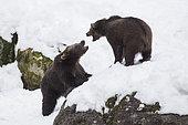 Carpathian brown bear (Ursus arctos arctos) facing in snow, BayerischerWald, Germany