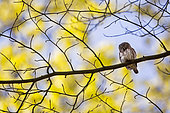 Pygmy Owl (Glaucidium passerinum) on a branch, Alsace, France