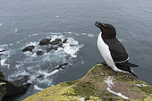 Razorbill (Alca torda) on a cliff, Iceland