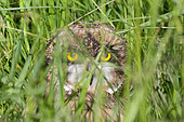Owl of the marsh (Asio flammeus) female on the ground, hidden in the grass, Pays de Loire, France