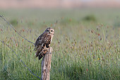 Owl of the marsh (Asio flammeus) on a stake in a marsh at dawn, Pays de Loire, France