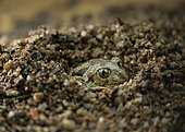 Eastern Spadefoot (Pelobates syriacus) digging a hole, Bulgaria