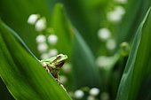 European tree frog (Hyla arborea) on lily leaf, Bulgaria