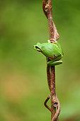 European tree frog (Hyla arborea), Bulgaria