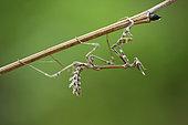 Conehead mantis (Empusa pennata) imago, Bulgaria