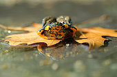 Yellow-bellied Toad (Bombina variegata) on a dead leave, Bulgaria