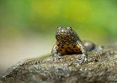 Yellow-bellied Toad (Bombina variegata) on rock, Bulgaria