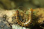 Megarian banded centipede (Scolopendra cingulata), Bulgaria