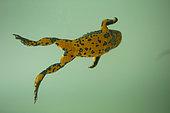 Yellow-bellied Toad (Bombina variegata) swimming, Bulgaria