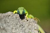 European green lizard (Lacerta viridis), Bulgaria