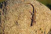 Erhard's Wall Lizard (Podarcis erhardii) on a rock, Bulgaria