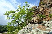 Spur-thighed tortoise (Testudo graeca), Bulgaria