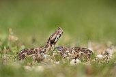 Female nose-horned viper (Vipera ammodytes), Bulgaria