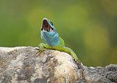 European green lizard (Lacerta viridis) open mouth, Bulgaria