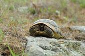 Hermann's tortoise (Testudo hermanni), Bulgaria