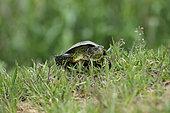European pond turtle (Emys orbicularis) male walking, Bulgaria