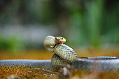 Aesculapian snake (Zamenis longissimus), Bulgaria