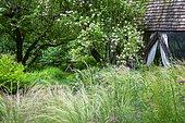 Wild garden with Feather grass (Stipa tenuissima), Climbing rose (Rosa souliena) 'Kew rambler', Ariege, France