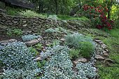 Rock garden Woolly hedgenettle (Stachys byzantina)) 'Silver carpet' in front of Rhododendron (Rhododendron sp) flowers, Ariege, France