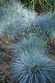 Fescue (Festuca glauca) 'Intense blue', Ariege, France
