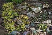 Rock garden with Sempervivum (Sempervivum sp) and Jenny's stonecrop (Sedum reflexum) 'Angelina', Ariege, France