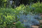 Fescue (Festuca glauca) 'Intense blue', Euphorbia (Euphorbia characias), Ariege, France