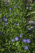 Great periwinkle (Vinca major) and log garden staircase, Ariège, France, Ariege, France