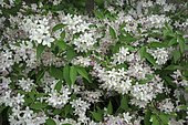 Deutzia (Deutzia sp) in bloom, Ariege, France