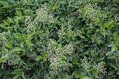Firethorn (Pyracantha sp) in bud, Ariege, France