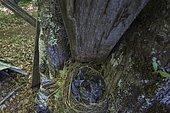 Blackbird (Turdus merula) nestling bird, Ariege, France