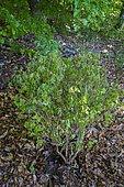 Carnberry viburnum (Viburnum trilobum) 'Alfredo' leaf beetle victim, Ariege, France