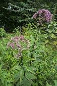 Spotted Joe-Pye Weed (Eupatorium maculatum) 'Atropurpureum', Ariege, France