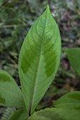 Jumpseed (Polygonum filiforme) leaf, Ariege, France