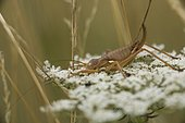 Rough Saddle Bush-cricket female (Uromenus rugosicollis) on the small flowers of a Wild carrot (Daucus carota) , Entre-deux-Mers, Gironde, New Aquitaine, France.
