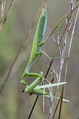 European mantis, Praying mantis (Mantis religiosa) covered with dew and tasting a grasshopper in the early morning, Entre -deux-Mers, Gironde, New Aquitaine, France.