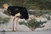 Male African ostrich (Struthio camelus camelus) feeding on acacia leaves, Saudi Arabia