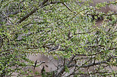 Yemen linnet (Linaria yemenensis) with pale plumage in acacia, Sarawat Mountains, Saudi Arabia