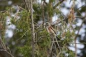 Yemen linnet (Linaria yemenensis) in African juniper (Juniperis procera), Sarawat Mountains, Saudi Arabia