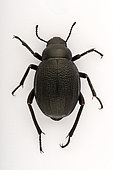 Arabian darkling beetle (Pimelia arabica) on white background, Saudi Arabia