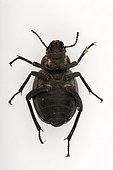 Arabian darkling beetle (Pimelia arabica)with parasites (Trombidium holosericeum), ventral face on white background, Saudi Arabia