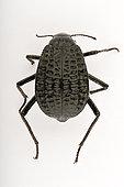 Pitted beetle (Adesmia cancellata) on white background, Saudi Arabia