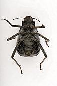 Pitted beetle (Adesmia cancellata) ventrale face on white background, Saudi Arabia